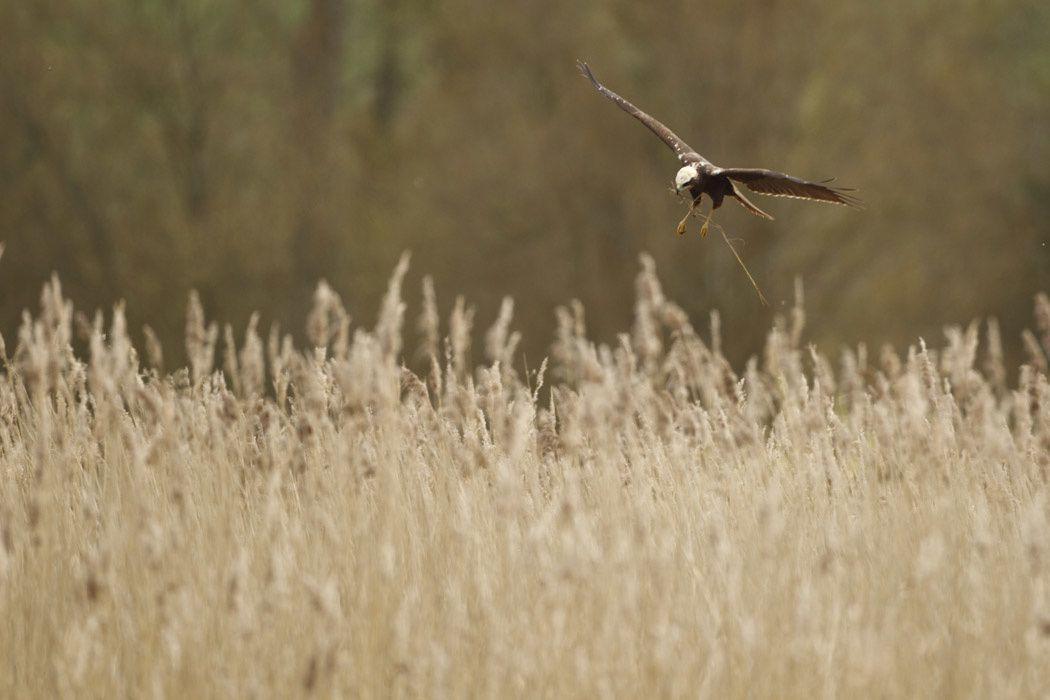 Busard des roseaux (Baie de Somme)