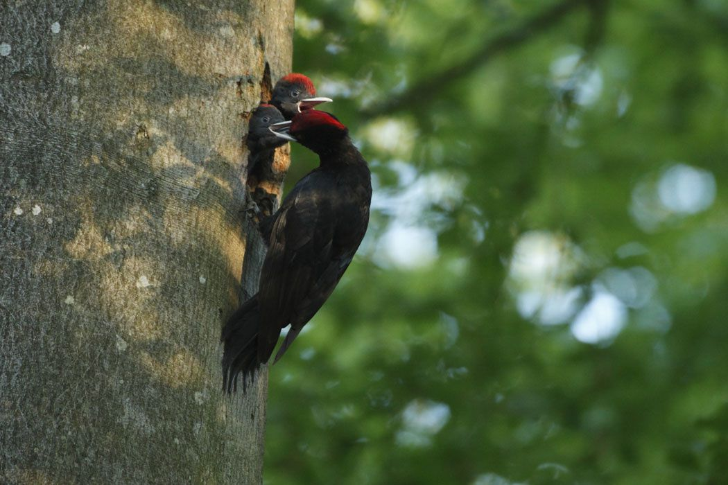 Pic noir (Dans une forêt de Thiérache, Aisne)