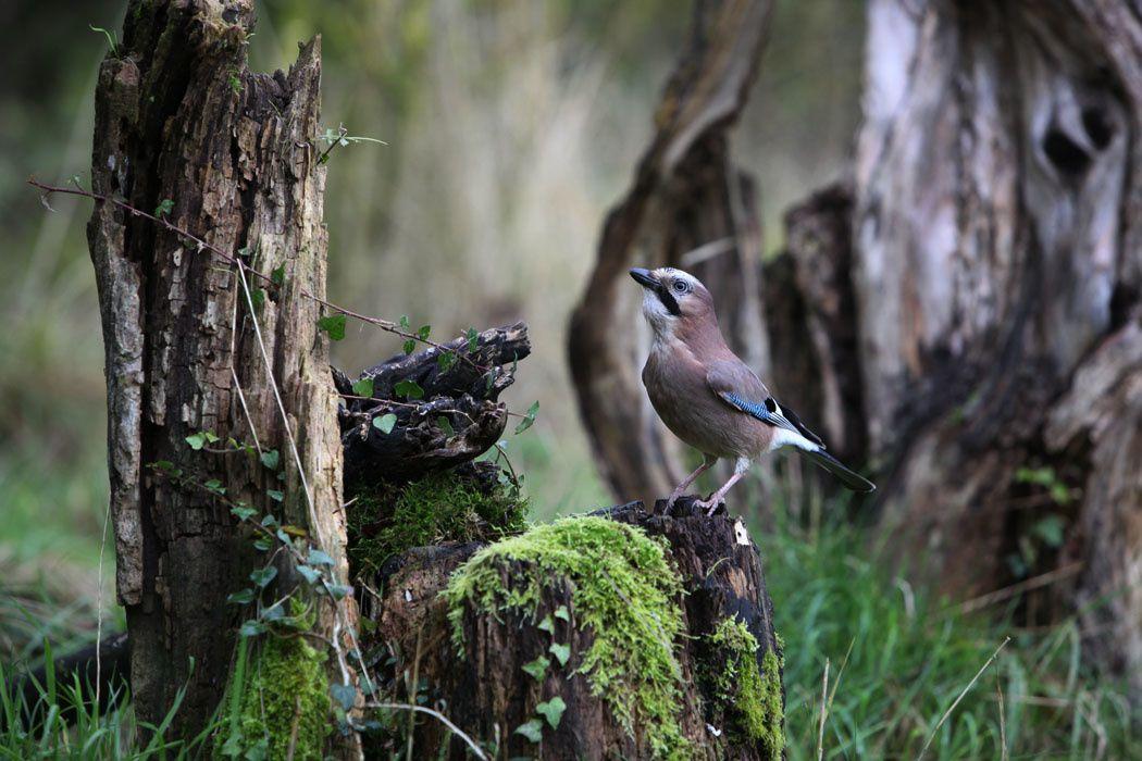 Dans un sous-bois du Marquenterre (accenteur mouchet, rouge-gorge, mésange bleue, bruant jaune, geai des chênes, campagnol)