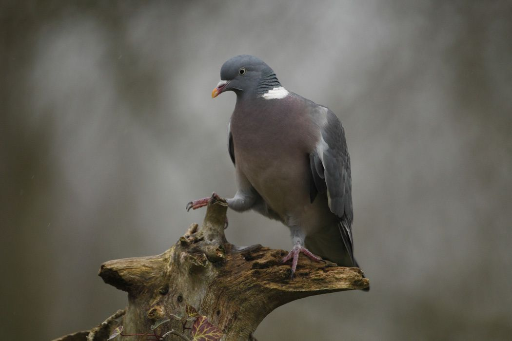 Pigeon ramier, buse variable, faisan de Colchide et campagnol (Marquenterre)