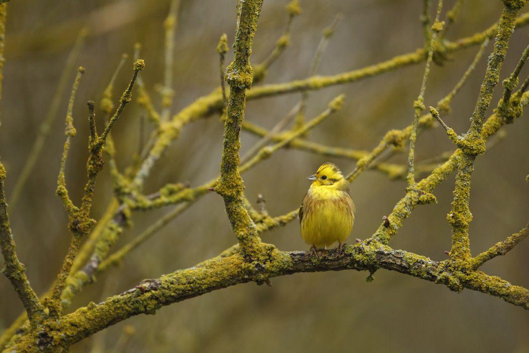 Bruant jaune, verdier d'Europe (Marquenterre)