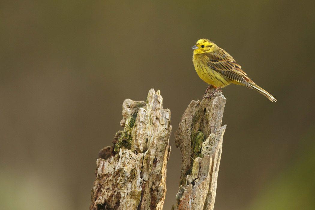 Bruant jaune (Marquenterre)