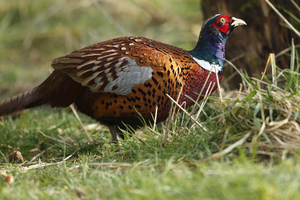 Pigeon ramier, faisan de Colchide (Marquenterre)