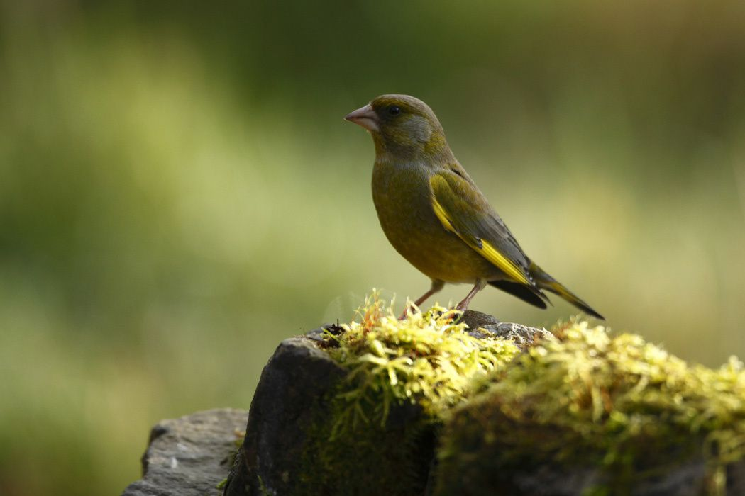 Rouge-gorge, bruant jaune, verdier d'Europe, mésange charbonnière, pigeon ramier (Marquenterre)