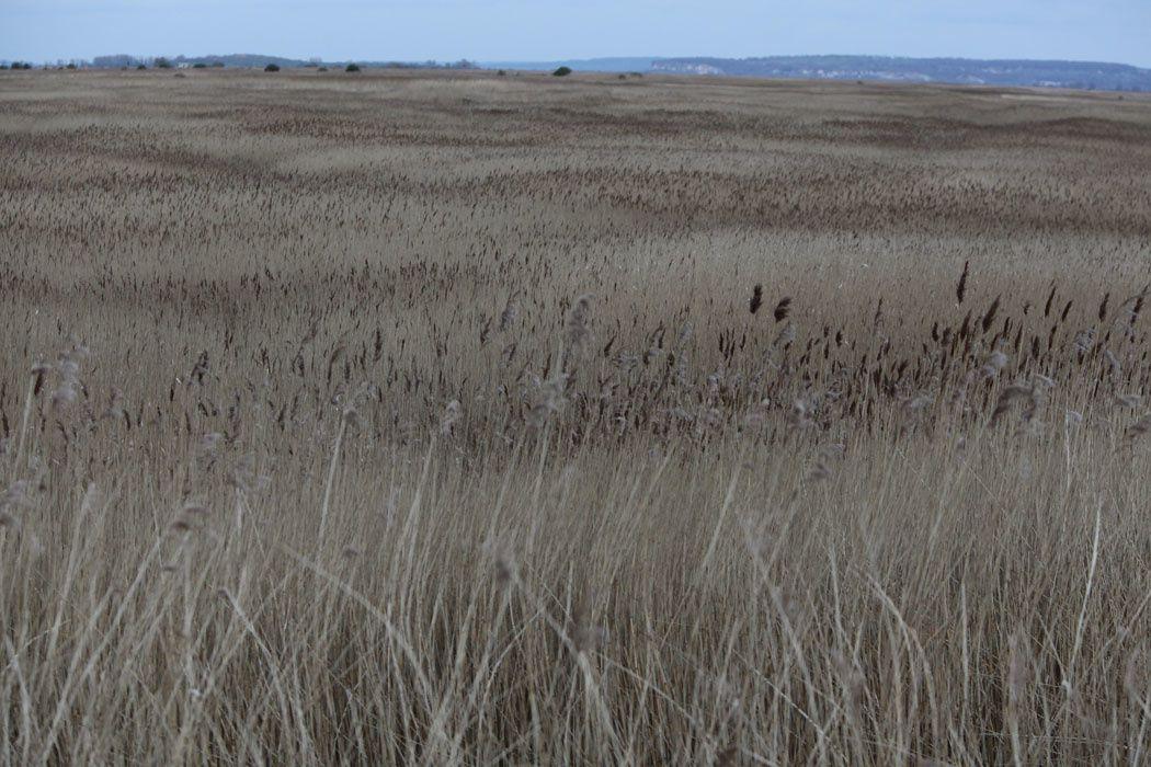 Faucons crécerelles, roselière (La Hague/réserve naturelle de l'estuaire de la Seine)