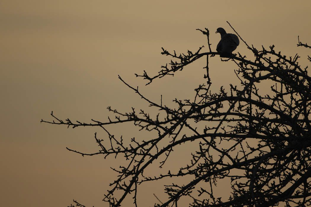Pigeons ramiers (Près d'Amiens)