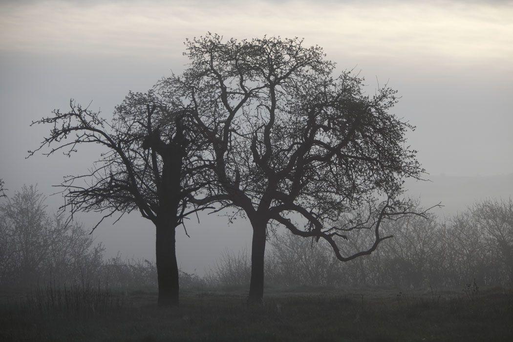 Vieux pommiers, biotope à chouette chevêche (Somme)