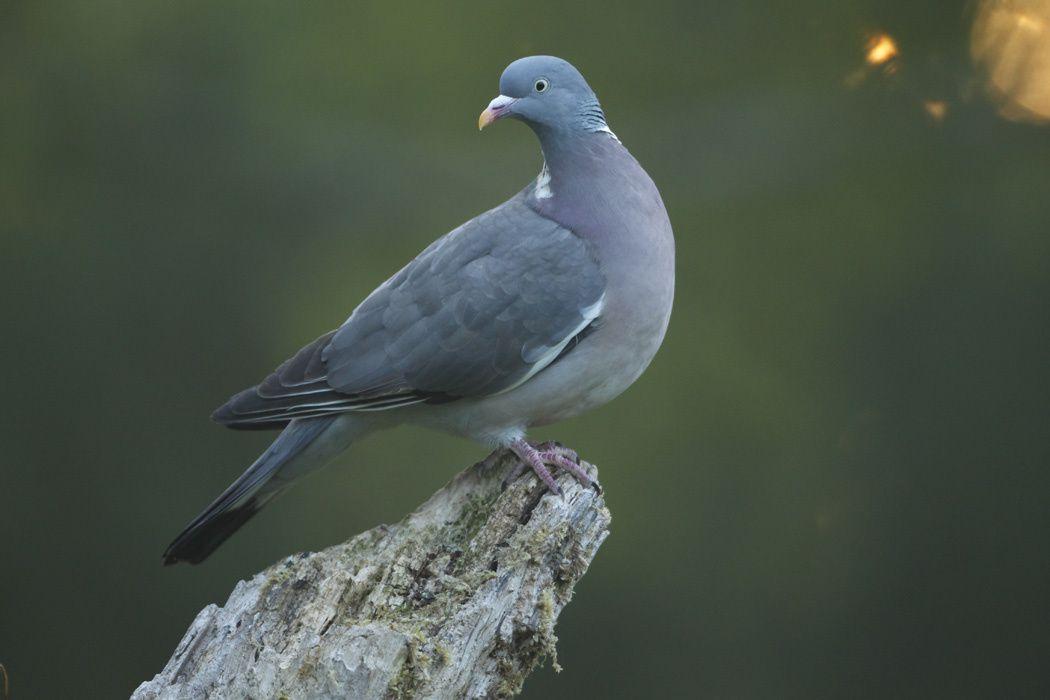 Pigeon ramier (Marquenterre)