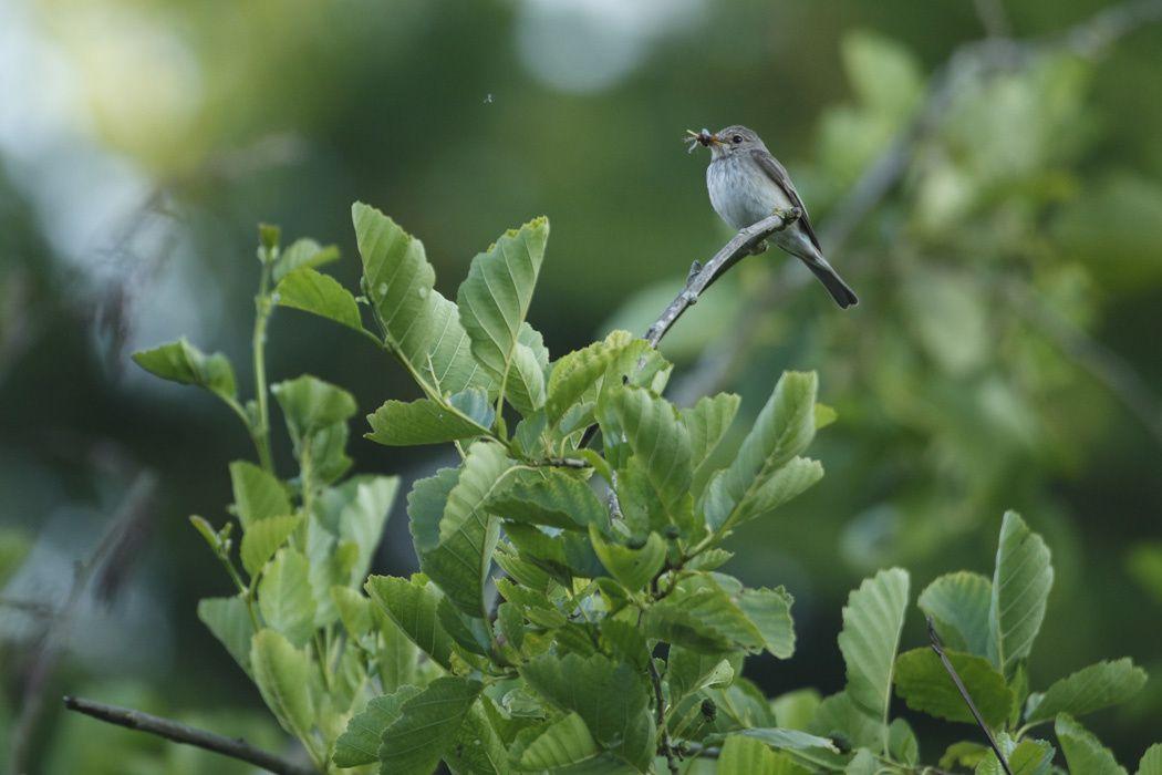 Gobe-mouche gris (Marquenterre)