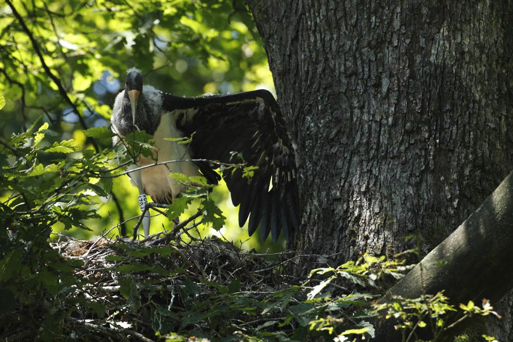 Cigogne noire (Ardennes)
