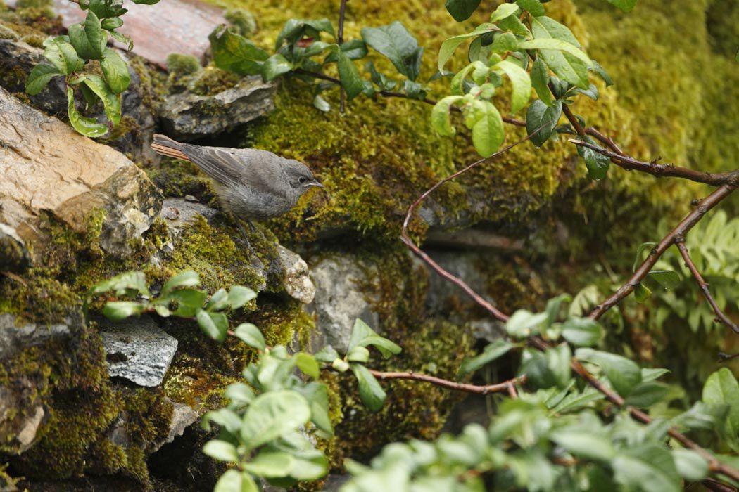 Rouges-queues noirs juvéniles (Grésivaudan)