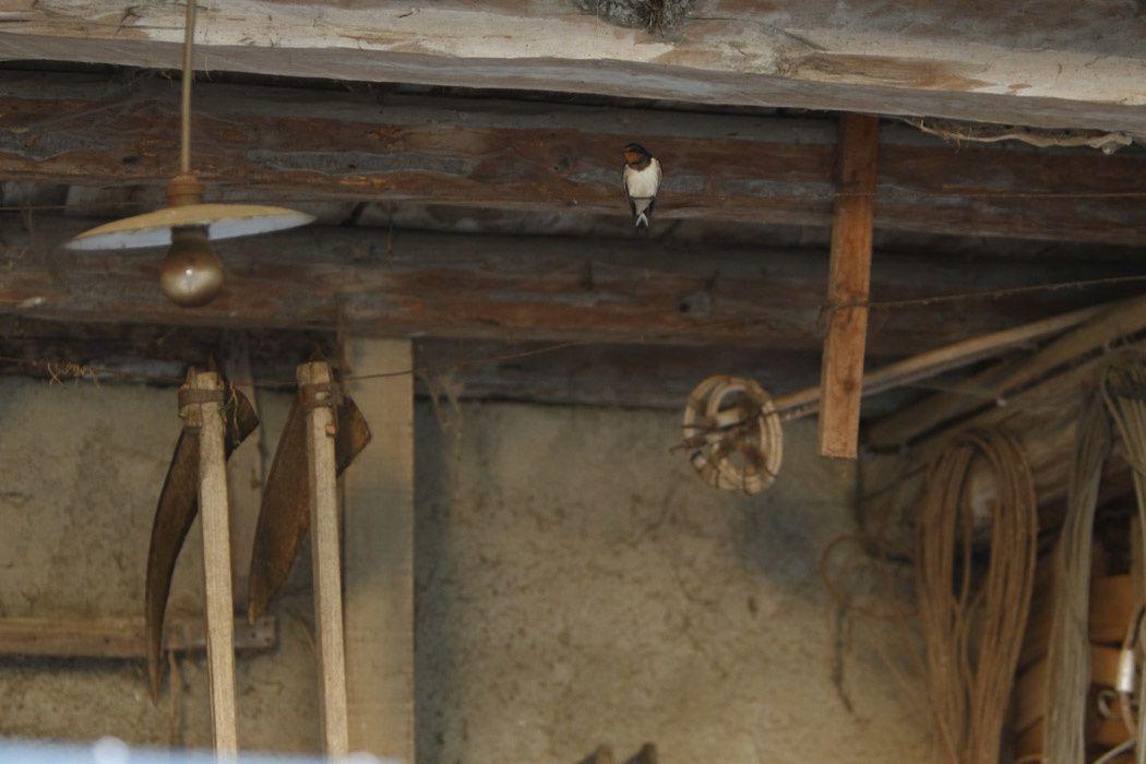 Hirondelles rustiques (Grésivaudan)