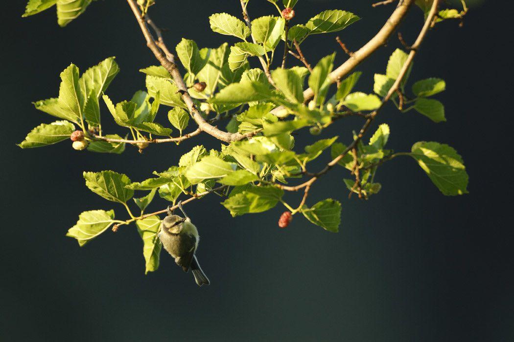 Mésange bleue (Grésivaudan)