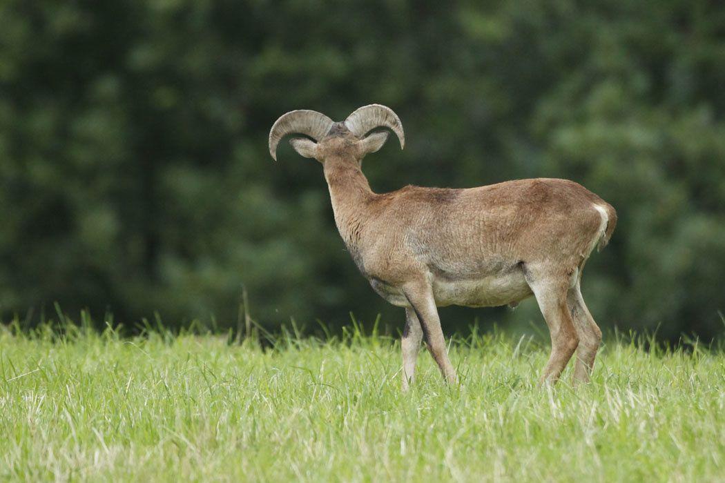 Mouflons (Grésivaudan)