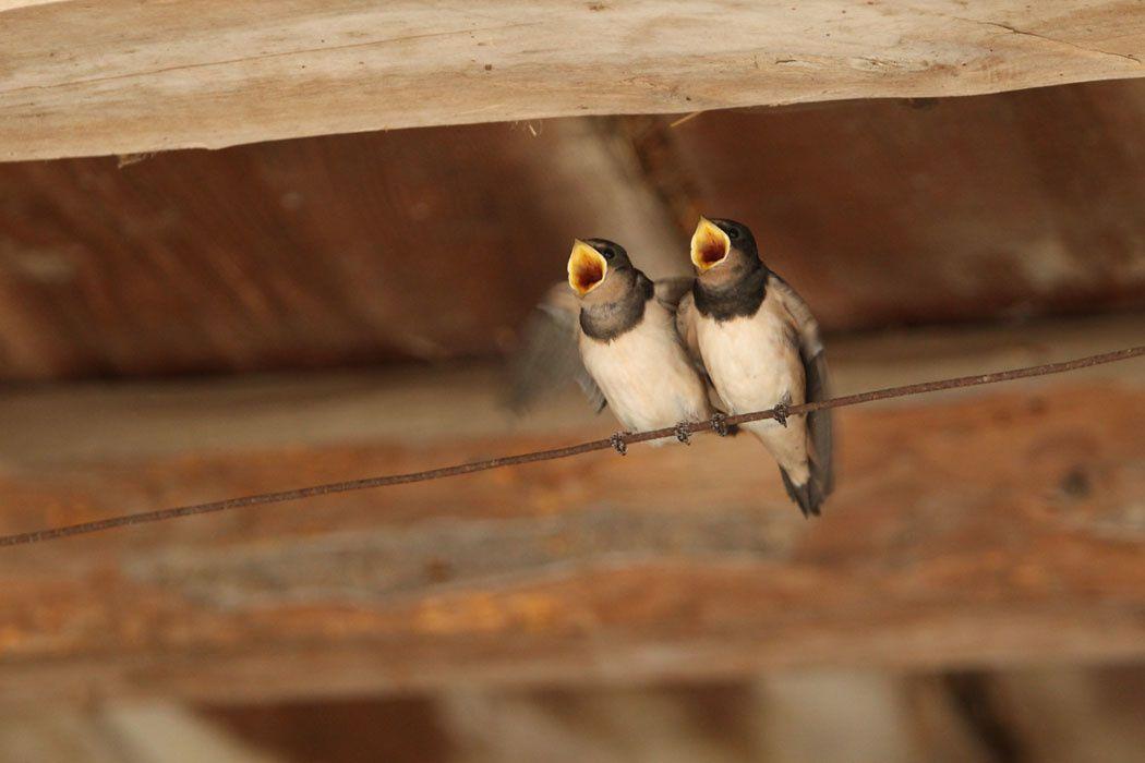 Hirondelles rustiques juvéniles (Grésivaudan)