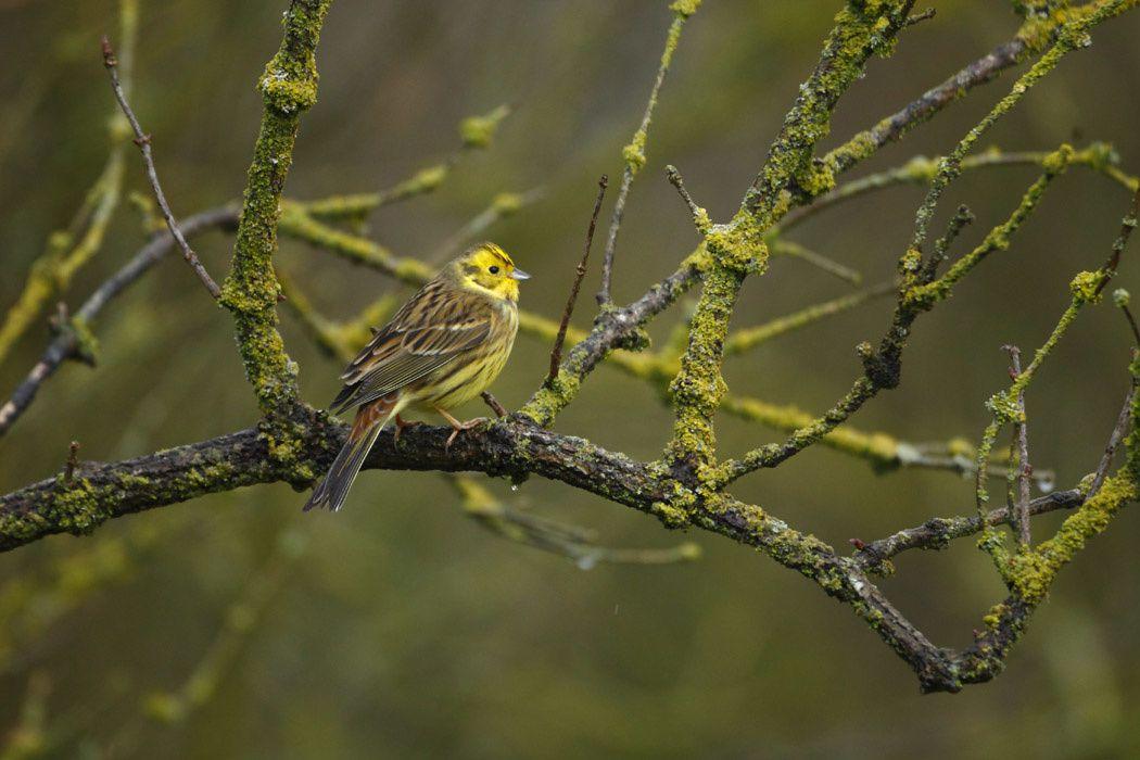 Bruant jaune mâle (Marquenterre)