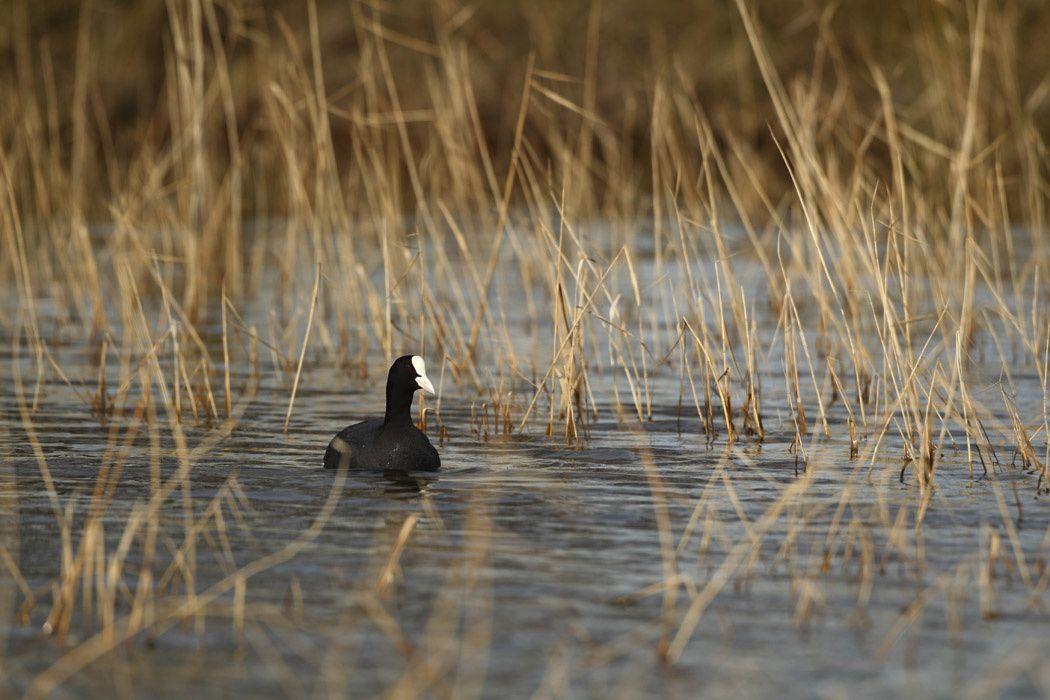 Foulque macroule, canard de barbarie (Dans une mare du Marquenterre)