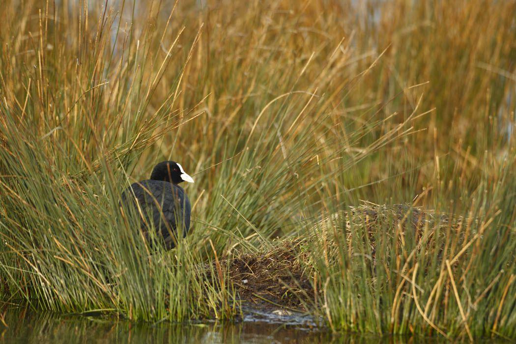 Spatule blanche, foulque macroule, héron cendré (étang de la Bassée-Le Crotoy)