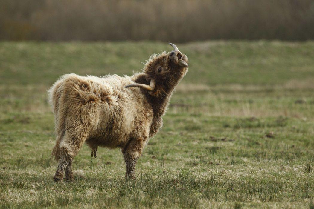Héron garde-boeufs, Highland cattle (baie de Somme)