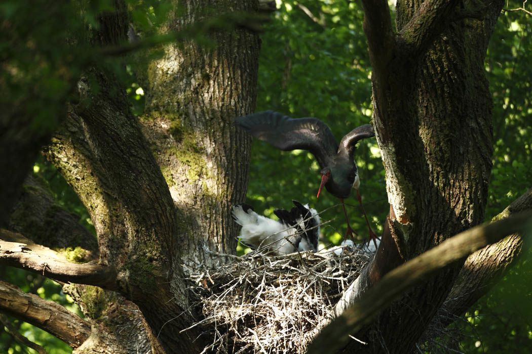 Cigognes noires juvéniles (Ardennes)