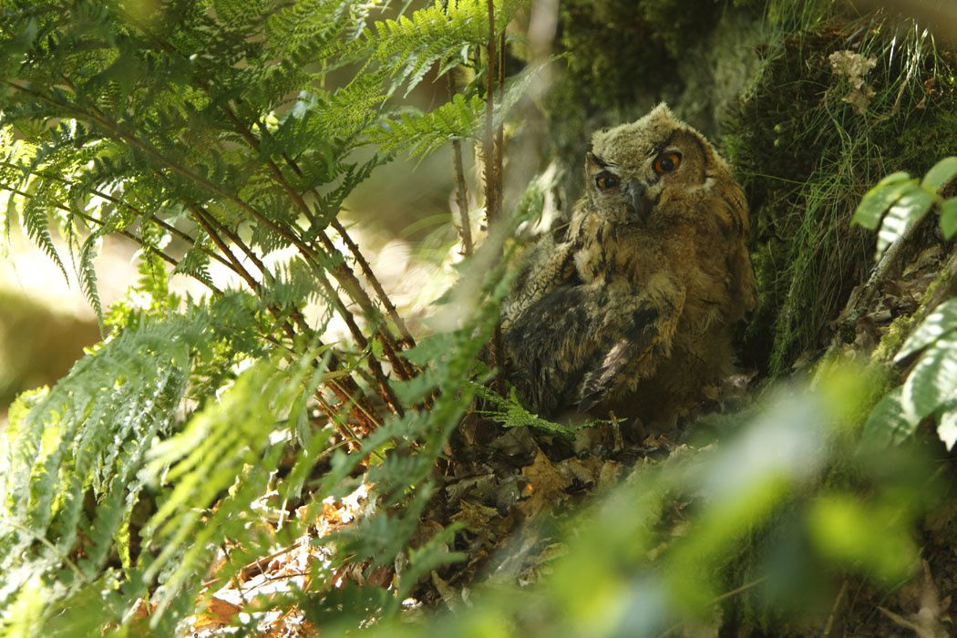 Hibou grand-duc juvénile (Ardennes)