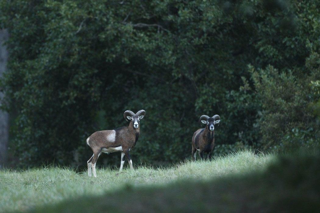 Mouflons (Marquenterre)