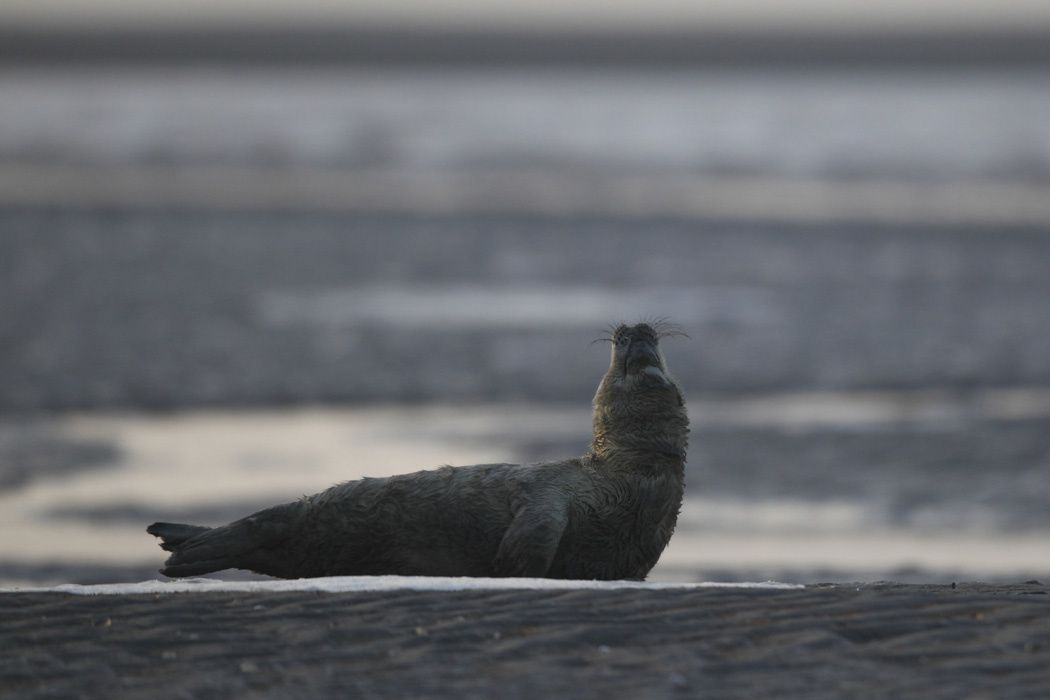 blanchon, phoque gris (Baie de Somme)