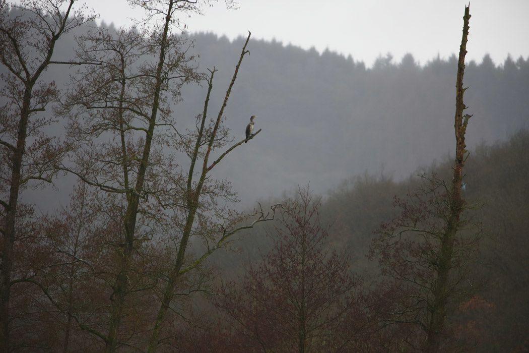 Grand cormoran (Ardennes)