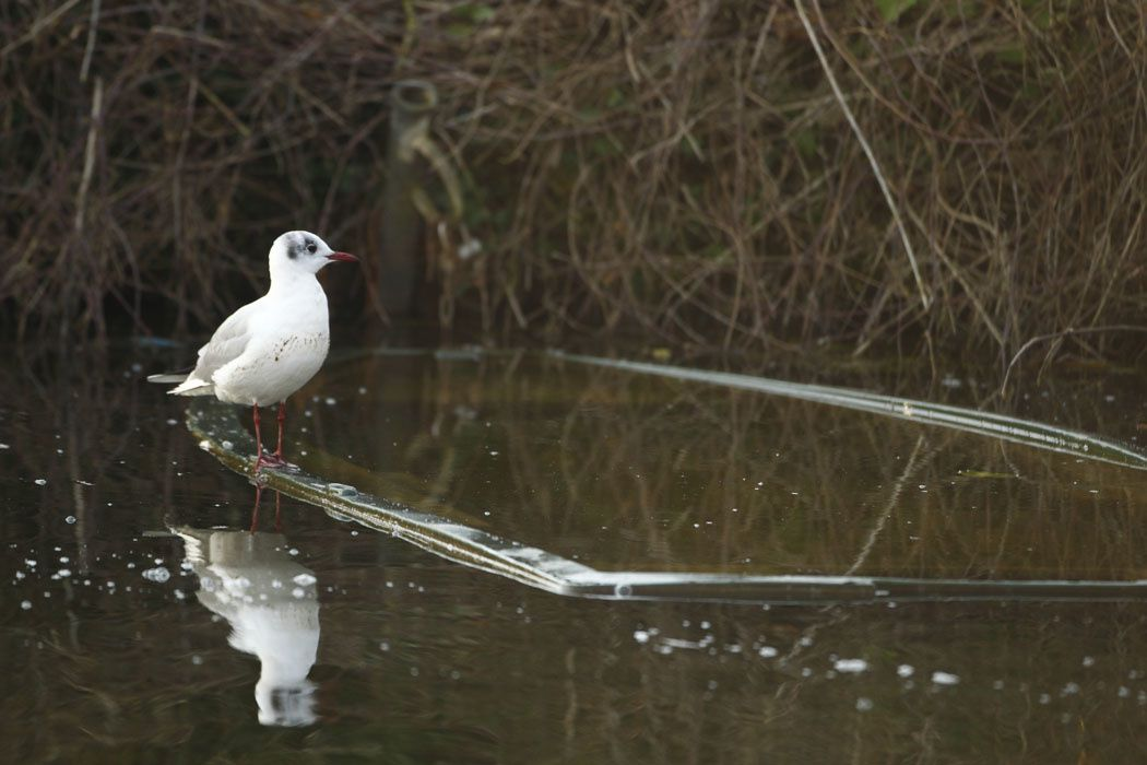 Mouette rieuse (Haute-Somme)