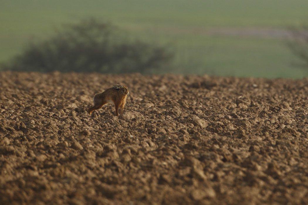 bouquinage de lièvres (Haute-Somme)