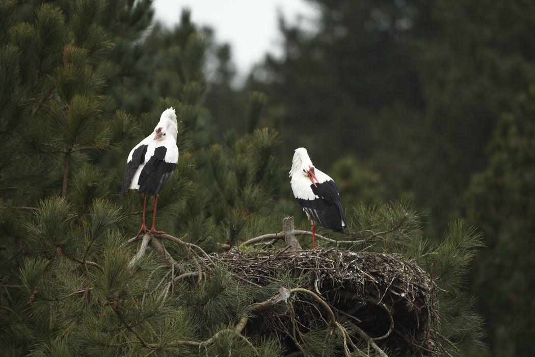 Cigognes blanches (Parc du Marquenterre)