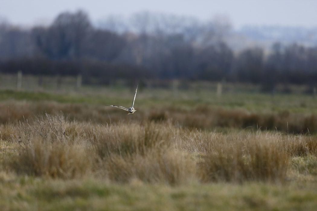 Hibou des marais (baie de Somme)