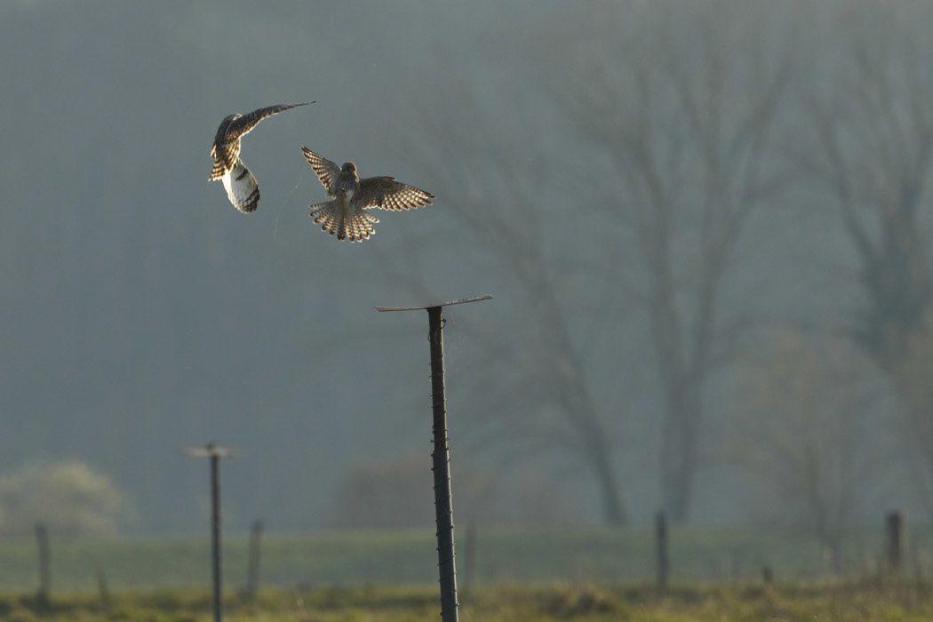 Hibou des marais et faucon crécerelle (baie de Somme)