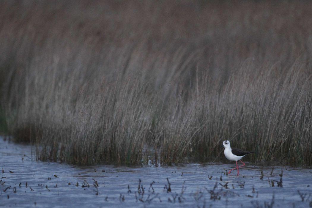 Échasses blanches (basse-plaine de l'Aude)