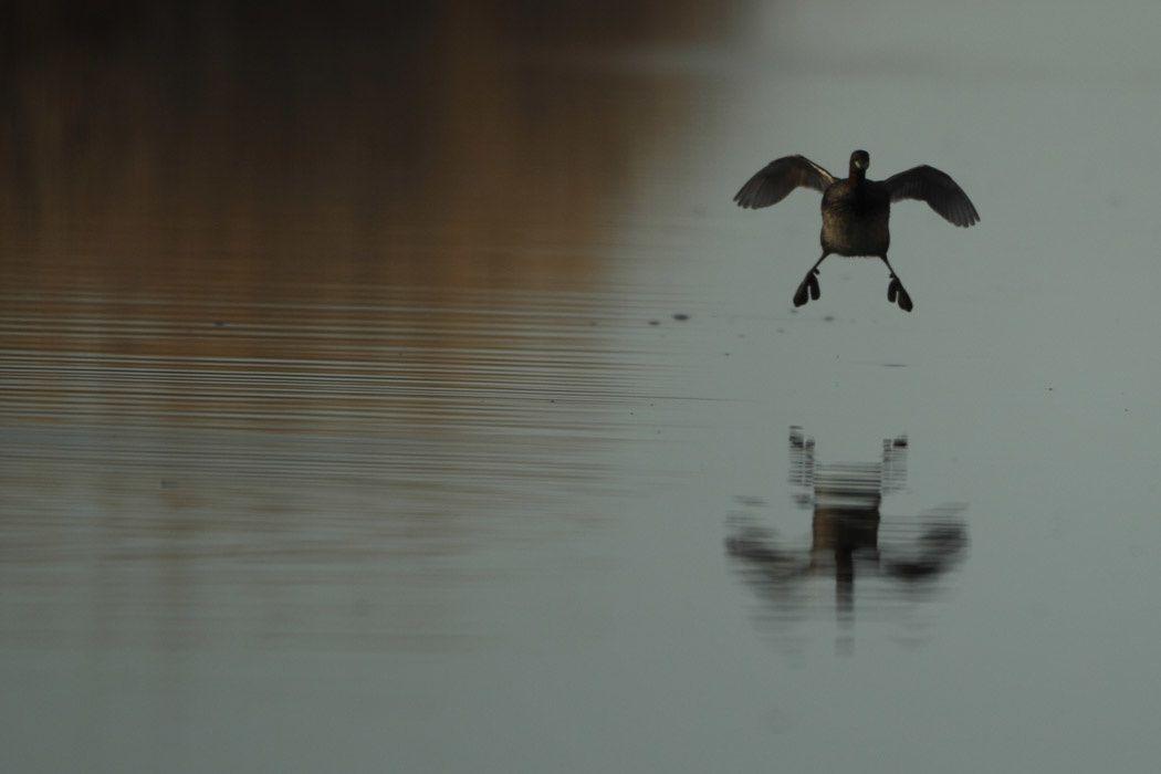 Grèbe castagneux, foulques macroules, grand cormoran (basse-plaine de l'Aude)