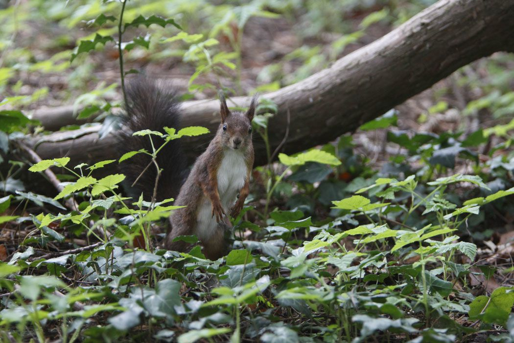 Écureuil roux (jardin botanique de Metz)