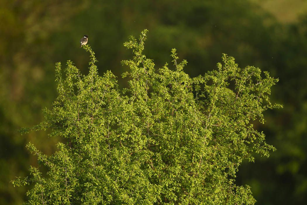 Tarier pâtre (Thiérache axonaise)