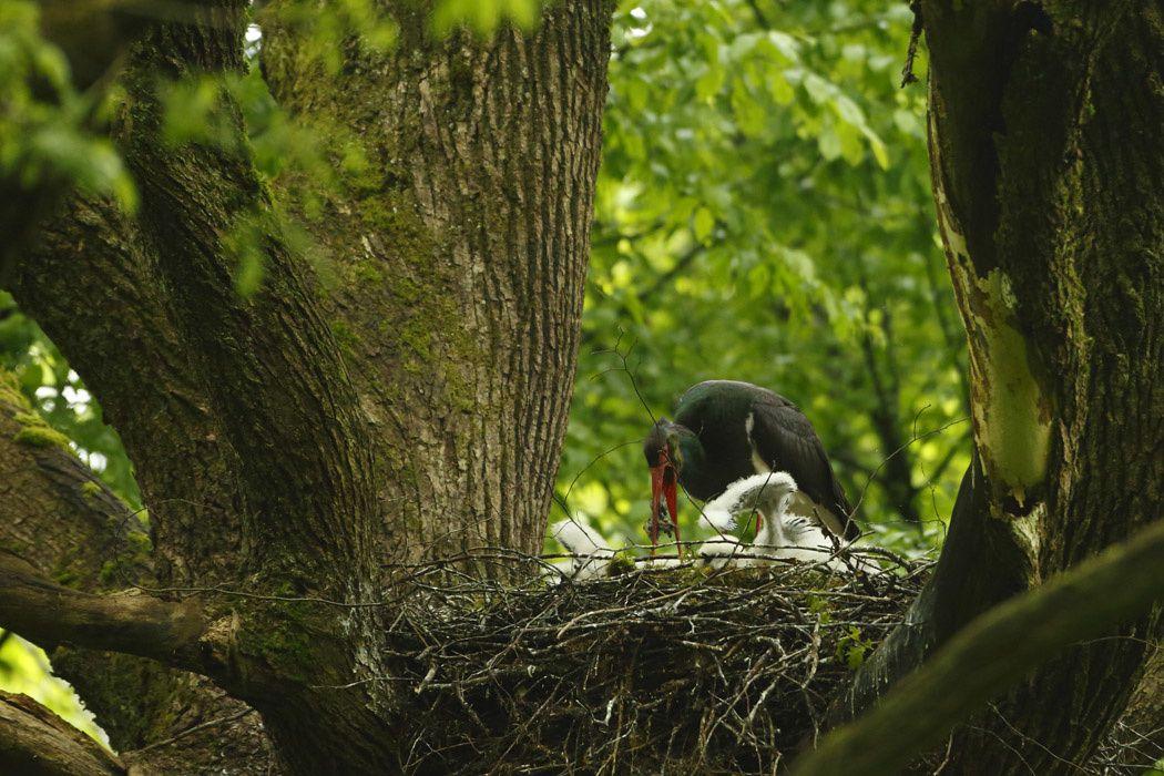 Cigognes noires (Ardennes)