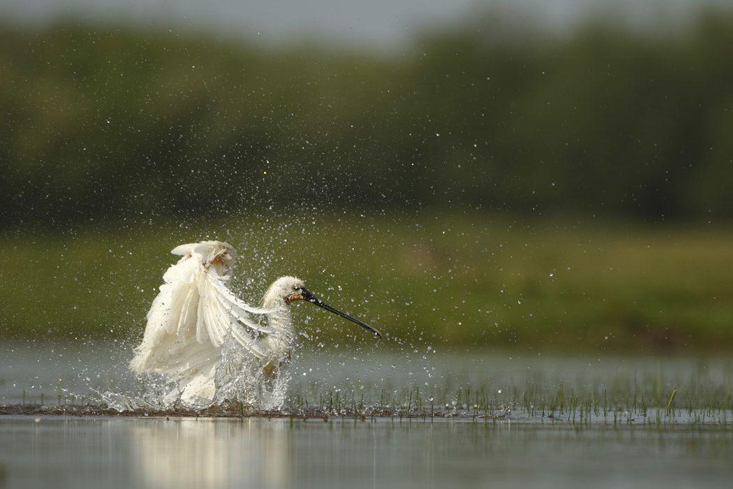 Spatules blanches (Parc du Marquenterre)