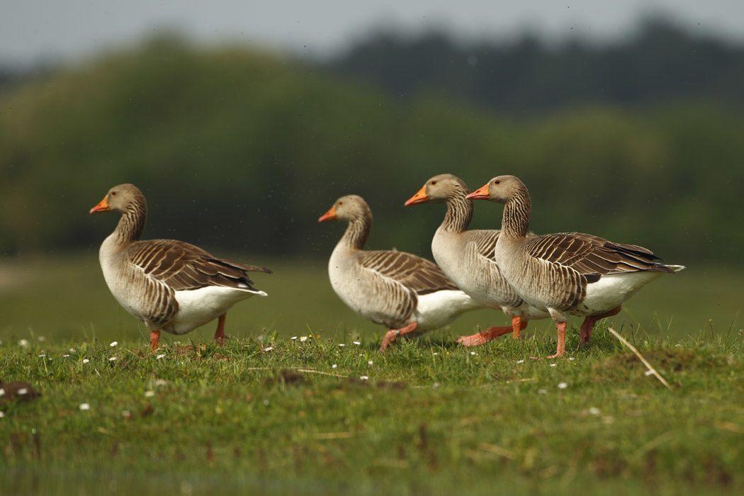 Oies cendrées et cygne tuberculé (Parc du Marquenterre)