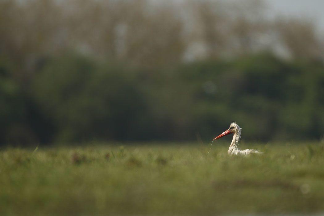 Cigogne blanche (Parc du Marquenterre)