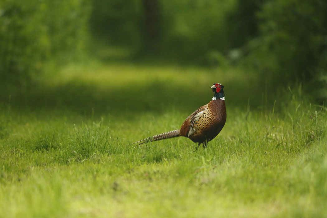 Coq et poule faisane (Marquenterre)