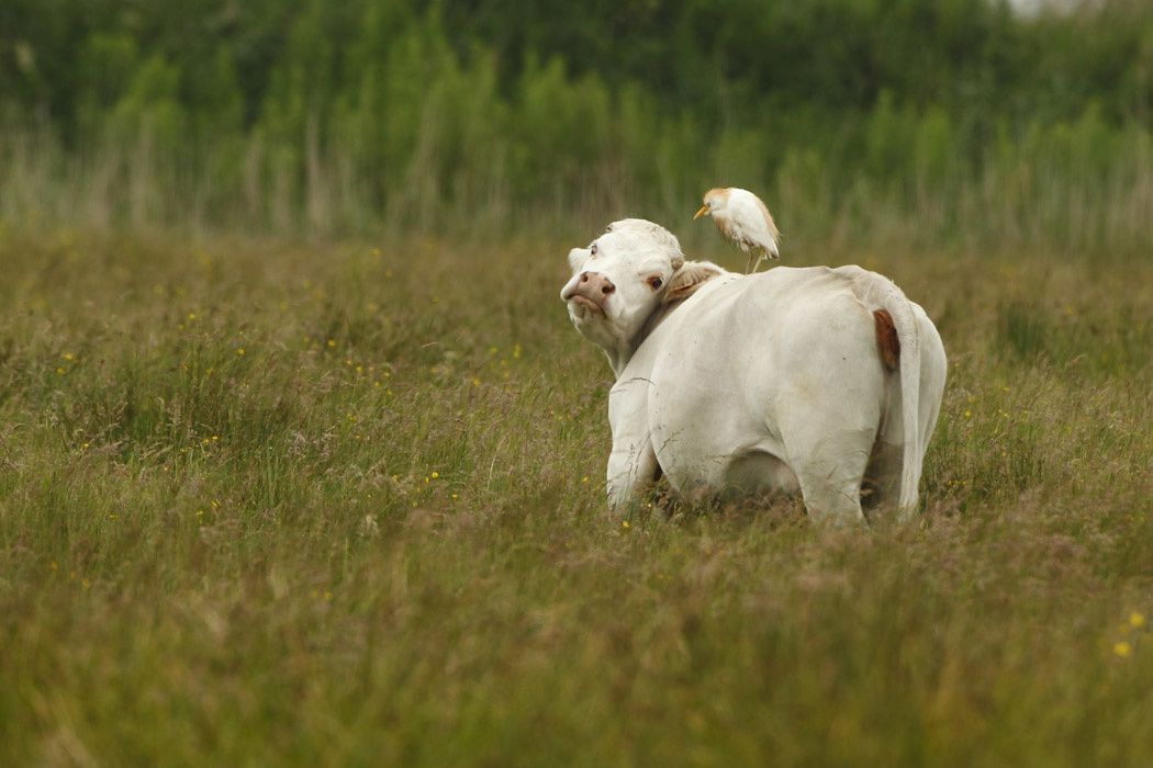 Héron garde-bœuf (Baie de Somme)