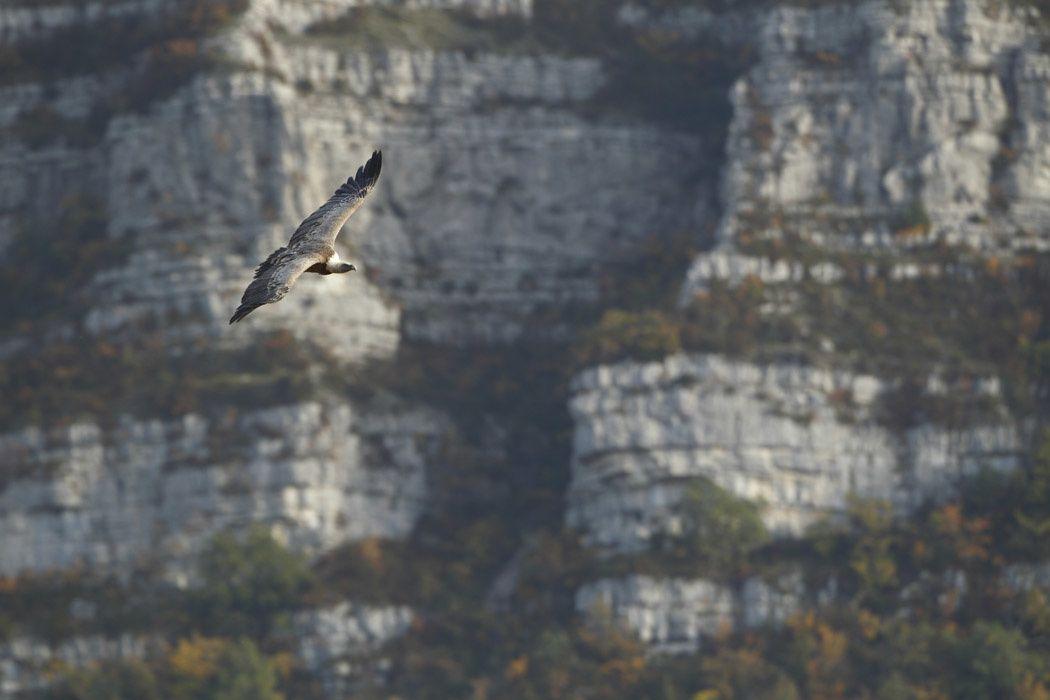 Vautours fauves (Rémuzat, Drôme provençale)