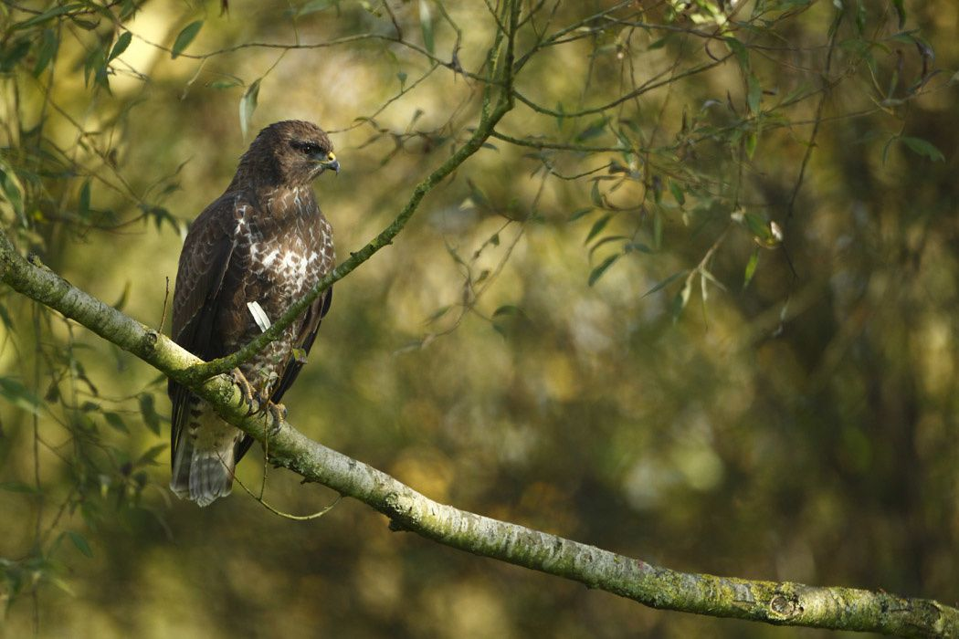 Buse variable (Marquenterre)