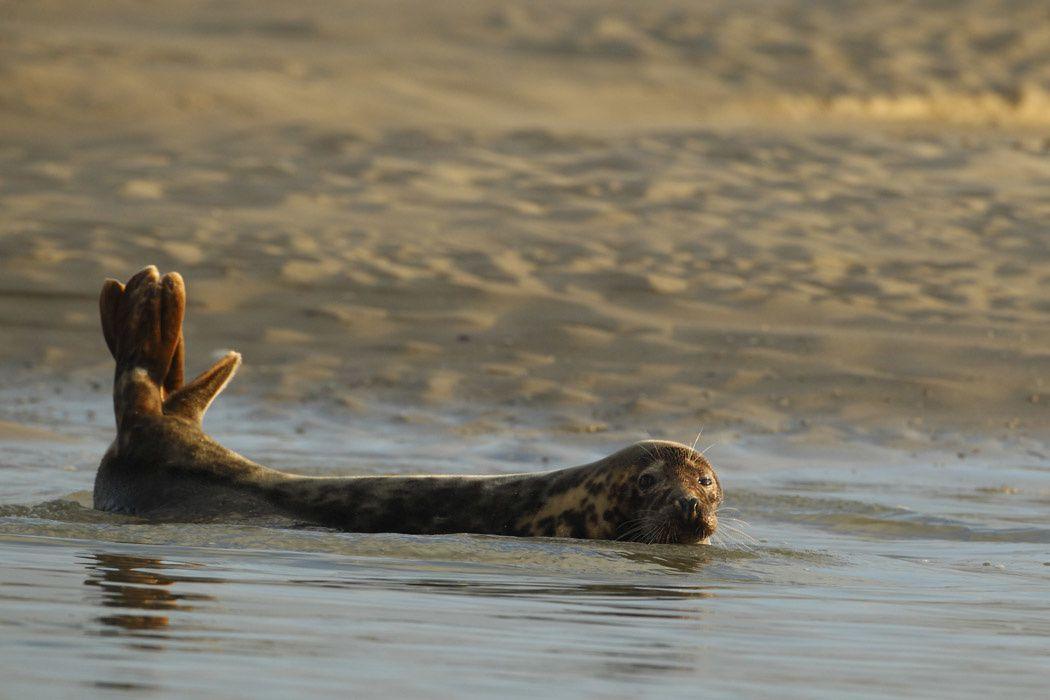 Phoques gris (Baie d'Authie)