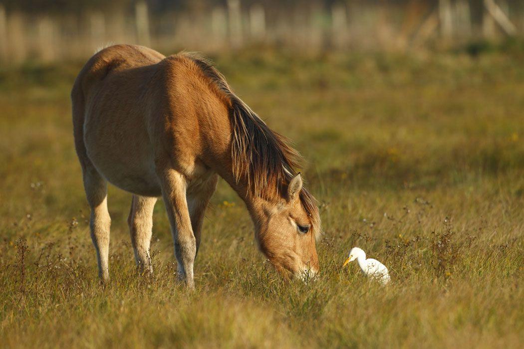 Hensons et hérons garde-bœufs (Marquenterre)