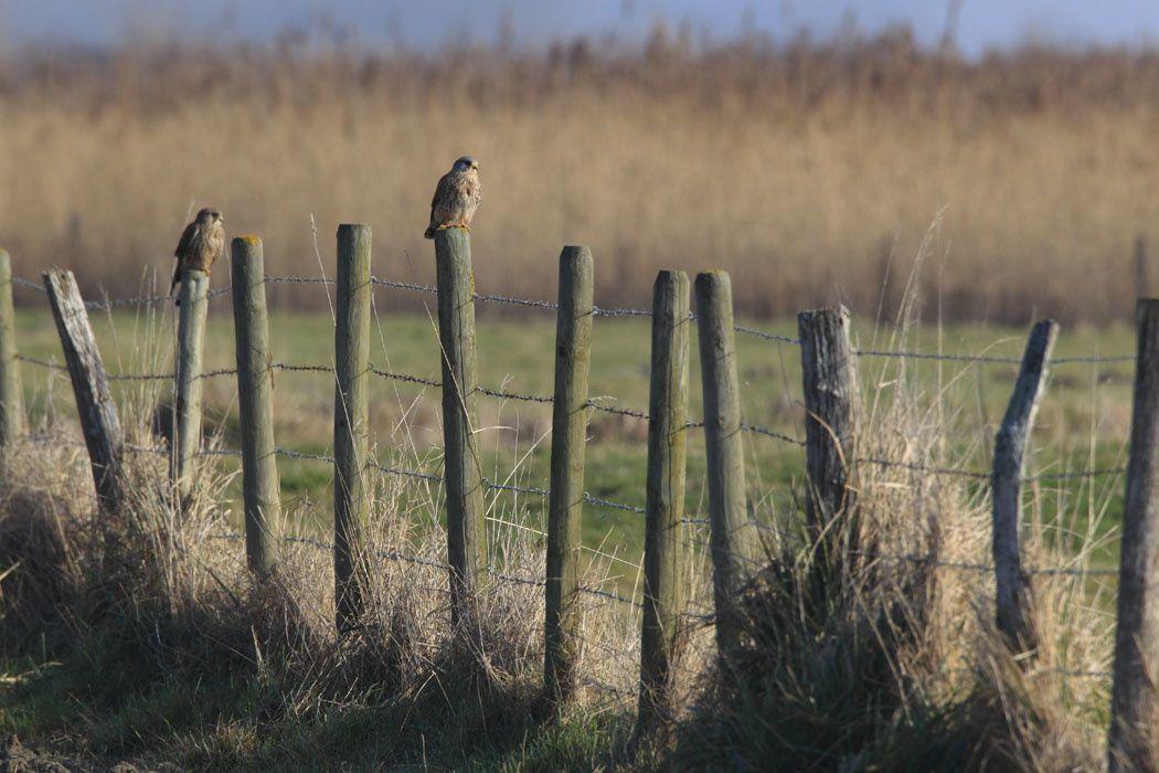 Faucons crécerelles (côte picarde)