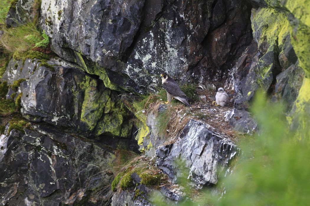 Faucon pèlerin (Massif ardennais)
