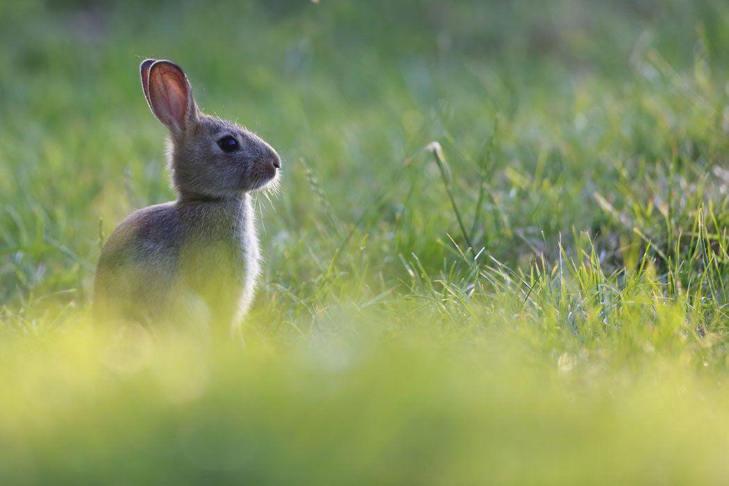 lapins de garenne (Somme)